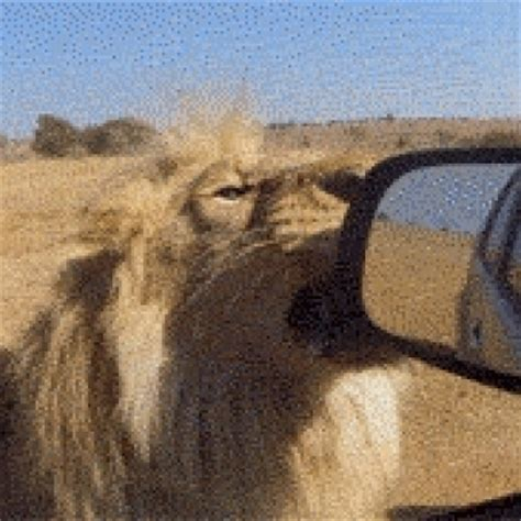 pugs fighting lions i sware on me fighting pug reaction gif