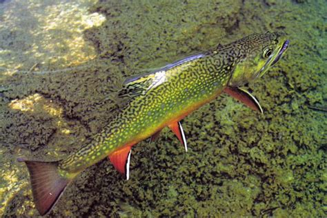 the speckled brook trout salvelinus fontinalis classic reprint books de 241 b 228 sta projects to try bilderna p 229