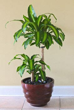 inside urban green low light low maintenance dracaena bowl indoor house plants on pinterest plants houseplant and