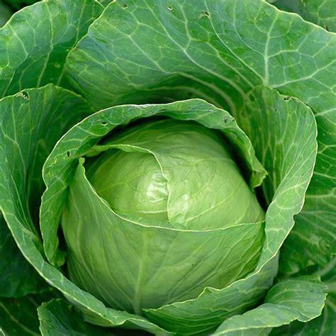 spring green cabbage seeds jack seeds