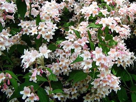 flowering shrubs for florida flowering weigela florida bush colorful shrubs