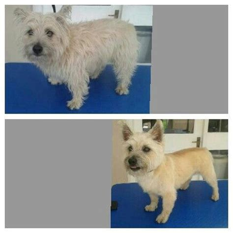 grooming picture for cairn terrier cairn terrier before and after groom pet love treats too