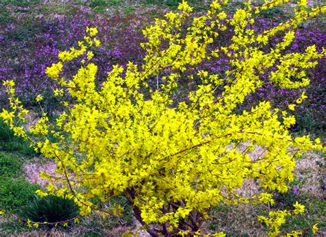 planting shrubs with forsythia flowers in bright yellow color png