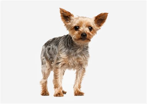 yorkie puppy development the terrier has also been involved in the development of breeds