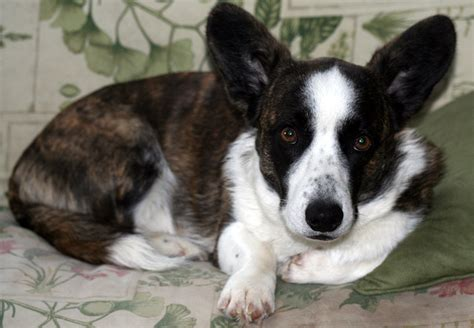 cardigan corgi puppies for sale in pa corgi pembroke cardigan puppies for sale corgi breeds picture
