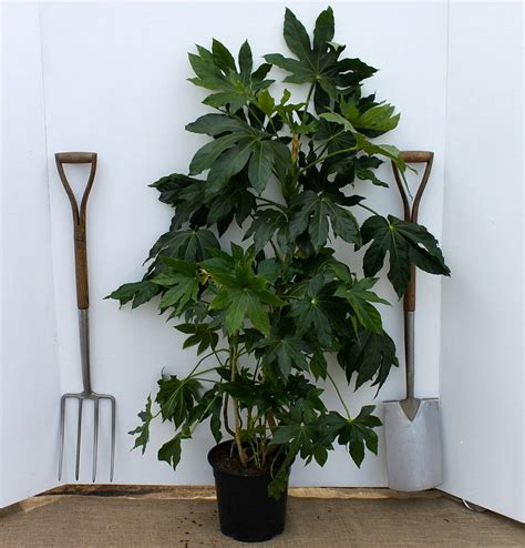 Fatsia Japonica Exterieur by Fatsia Japonica Tuin Ext 233 Rieur