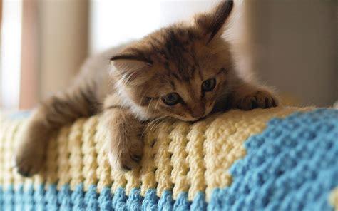 cute baby kittens girl ダウンロード壁紙 1920x1200 かわいい子猫 ソファ ラグ hdのデスクトップの背景