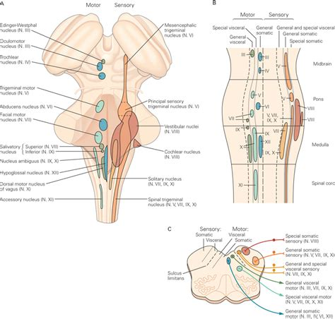 cranial nerve motor nuclei sensory and motor nuclei for which cranial nerves exist in