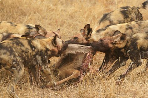 are dogs endangered dogs endangered with greater kudu kill at ngala gr kruger np south