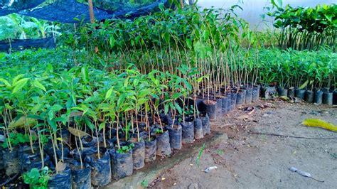 Jual Bibit Kambing Di Medan jual bibit gaharu di medan jual bibit tanaman unggul