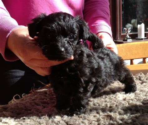 are yorkies for allergy sufferers terrier x poodle traits care