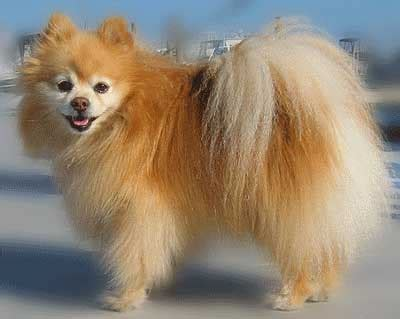 haired pomeranian for sale pomeranian puppies for sale in ludhiana