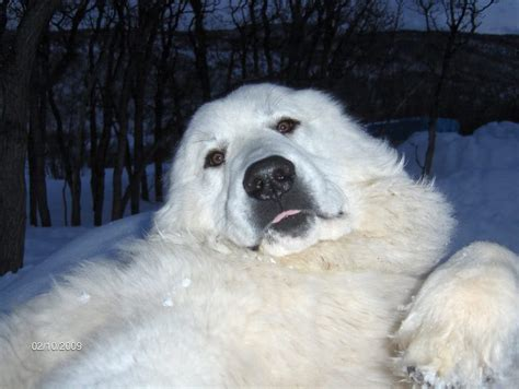 great pyrenees puppies colorado great pyrenees pups for sale nw colorado with pics welcome to the homesteading today