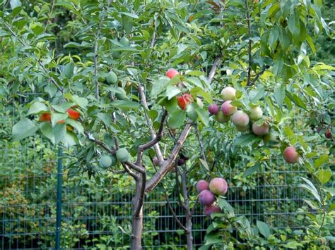 4 in one fruit trees pretty tree grows 40 different kinds of fruit abc news