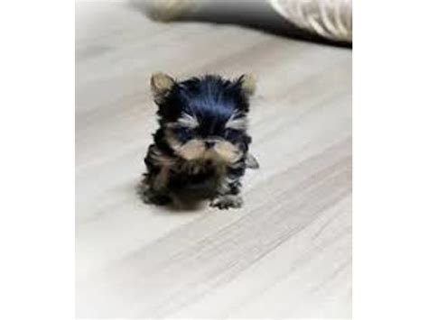 yorkie breeders pittsburgh pa health guarantee teacup yorkie puppies ready for re homing animals pittsburgh