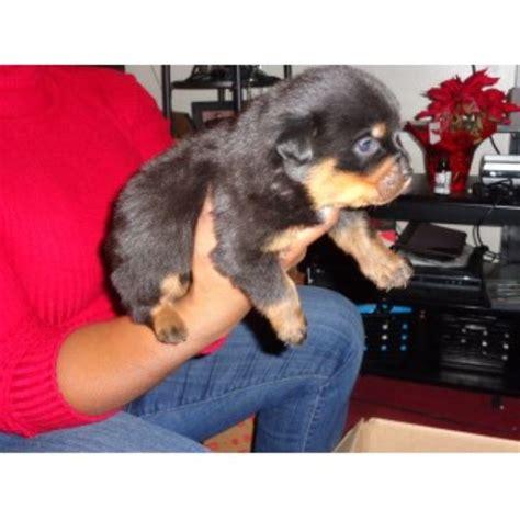 rottweiler puppies in jacksonville fl vom born hutter kennels rottweiler breeder in jacksonville florida
