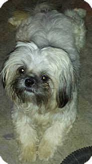 shih tzu puppies for adoption in ky louisville ky shih tzu mix meet oliver a for adoption