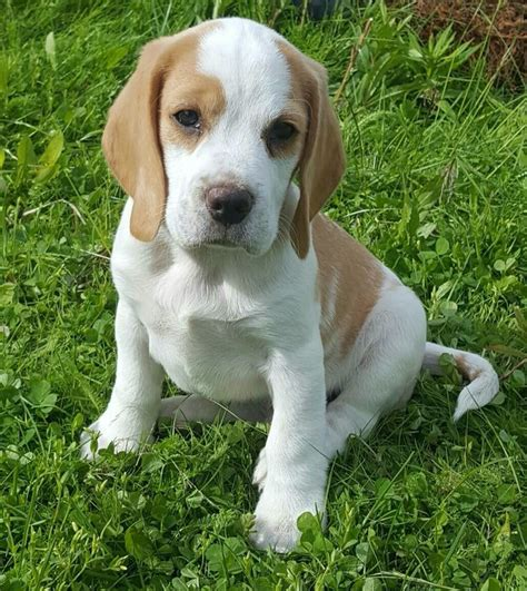 is lemon bad for dogs best 25 lemon beagle ideas on beagle puppies beagle puppy and lemon