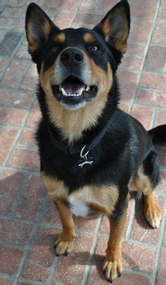 buy rottweiler mix german shepherd rottweiler mix breed info characteristics and pictures animalso