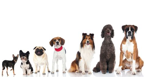 science of dogs the smartest breeds according to scientists out of the box science