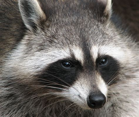 What To Do If A Raccoon Is In Your Backyard by Raccoon Intelligent Thief Animal Photo