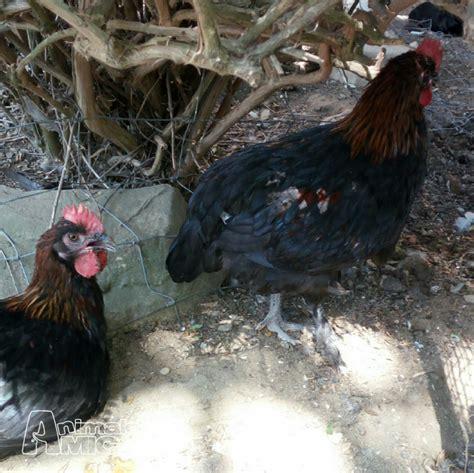 regalo animali da cortile vendita pollo da privato a piacenza animali da cortile 25