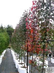 narrow flowering shrubs nursery and grower of quality advanced trees trees