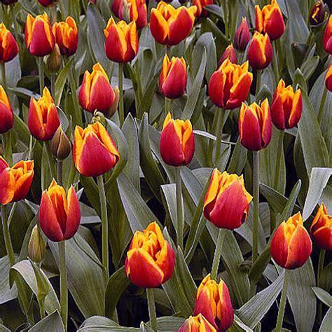 'Kees Nelis' Tulip (Tulipa gesneriana cv.)