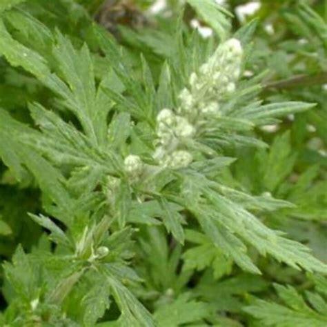 penyubur kandungan  tanaman obat  cina
