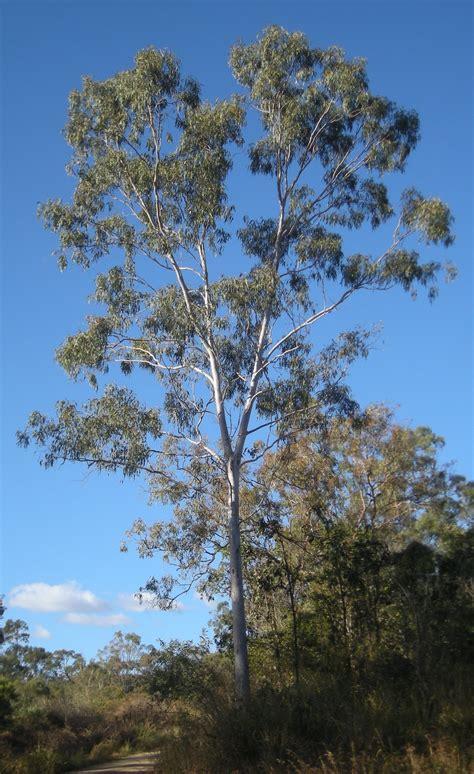 eucalyptus trees file eucalyptus tereticornis tree jpg