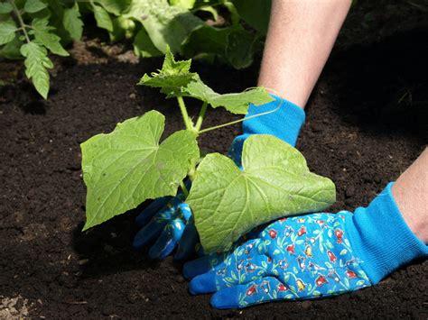 petunien pflanzen ab wann gurken veredeln 187 eine anleitung f 252 r freizeitg 228 rtner