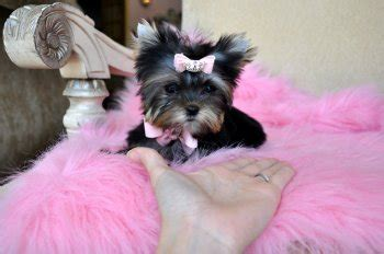 teacup yorkie for sale chicago teacup maltese puppies for adoption chicago pt17536 breeds picture