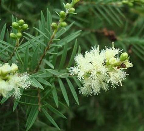 Bibit Pohon Kayu Putih tanaman kayu putih bibitbunga