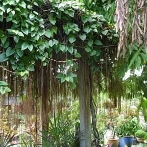 jual bibit tanaman hias akar gantung siap antar