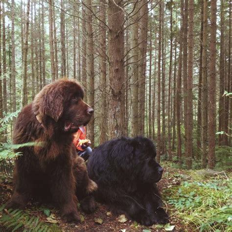 Newfoundland Search Best 25 Newfoundland Dogs Ideas On Brown Newfoundland