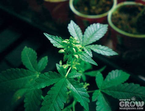 reasons   throw  male cannabis plants