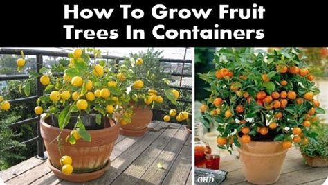 How To Grow Fruit Trees In Containers   Home Design