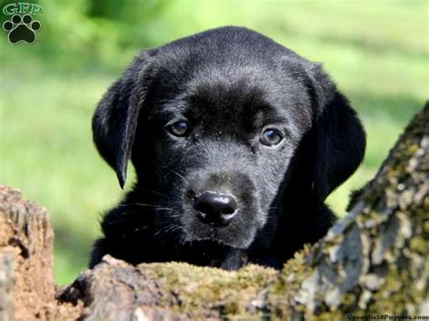 black lab puppies for sale in pa 1000 images about on new toys puppys and big