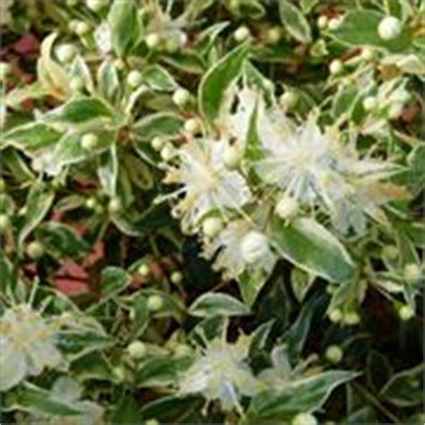 piante da giardino perenni fiorite fiori da giardino perenni giardinaggio tipologie di