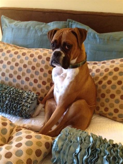 boxer puppies seattle 25 best ideas about boxers on boxer puppies boxer pup and boxer dogs