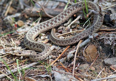 Garden Snake Pa Eastern Garter Snake Flickr Photo