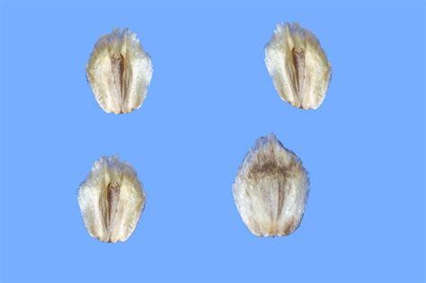 alimentazione dei cardellini cardo giallo il forum club dei fringillidi