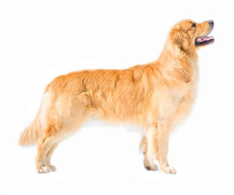 just breeds golden retriever golden retriever3 jpg golden retriever breeds