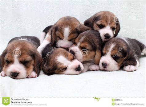 free beagle puppies beagle puppies royalty free stock photo image 26023155