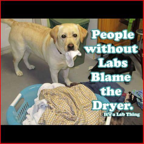 Labrador Meme - labrador memes