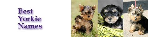 names for a yorkie yorkie names images