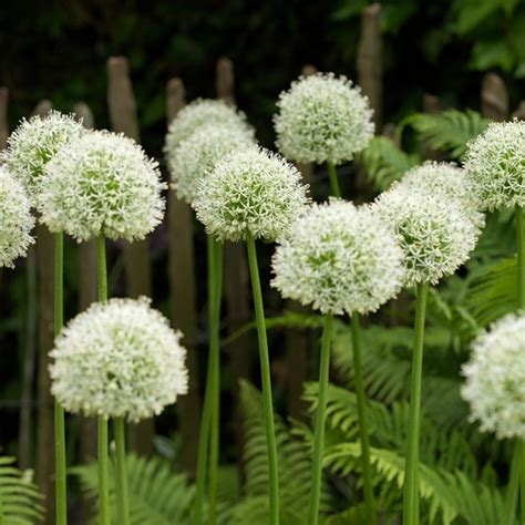 allium white giant www pixshark com images galleries with a bite