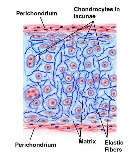 cartilage diagram hyaline cartilage ace entrance