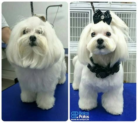picture of maltese grooming styles repinned maltese grooming before and after pinteres