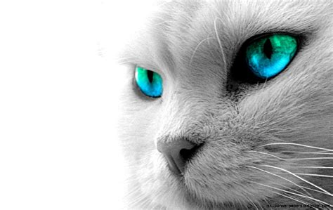 wallpaper white cat hd little white cat wallpaper hd super wallpapers